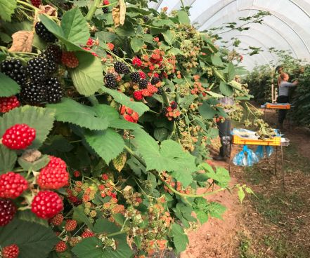 British Economy Blackberries