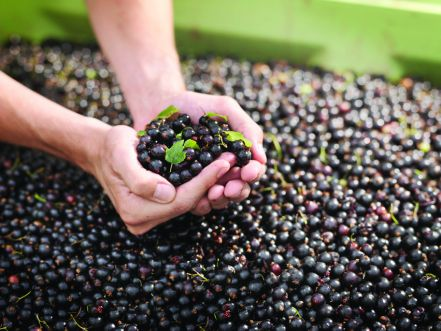 Organic Blackcurrants