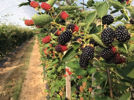 British Blackberries Sweet Eating